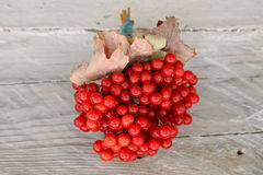 Bunch of viburnum Royalty Free Stock Image