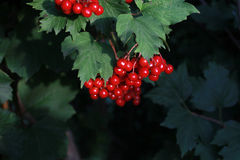 Bunch of viburnum berries. Red Viburnum berries on a background of leaves Stock Images