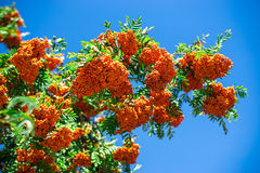Bunch of viburnum with blue sky as background. Vibrant contrast image Royalty Free Stock Images
