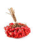 Bunch of viburnum isolated on a white Royalty Free Stock Photos