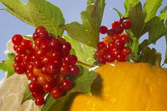 Bunch of viburnum and pumpkin Royalty Free Stock Images