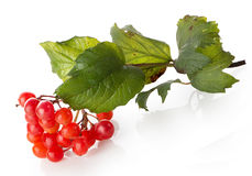 Bunch of viburnum Royalty Free Stock Photos