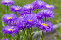 Bunch of violet aster flowers Stock Photo