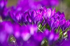 Bunch of Violet crocuses Stock Photography
