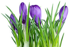 Bunch of violet crocuses Stock Photo