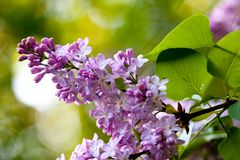 Bunch of violet fragrant pink lilac Stock Images