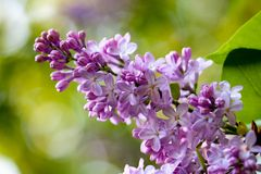 Bunch of violet fragrant pink lilac. In nature Stock Photo