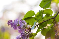 Bunch of violet fragrant pink lilac. In nature Stock Images
