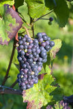Bunch of violet grapes Royalty Free Stock Photography