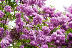 Bunch of violet lilac Stock Photography
