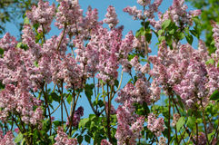 Bunch of violet lilac flower. In sunny spring day in front of blue sky Stock Image