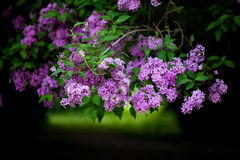Bunch of violet lilac flower Royalty Free Stock Photo
