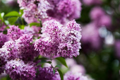 Bunch of violet lilac flower Stock Image