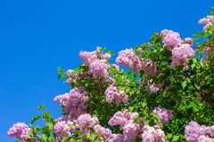 Bunch of violet lilac flower in sunny spring day Stock Photography