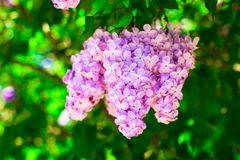 Bunch of violet lilac flower in sunny spring day Royalty Free Stock Photography