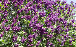 Bunch of violet lilac flower in sunny spring day. In front of blue sky Royalty Free Stock Photo