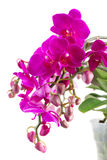 Bunch of violet orchids Royalty Free Stock Images