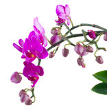 Bunch of violet orchids Royalty Free Stock Photo