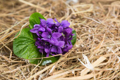 Bunch of violets dipped in the straw. Spring perfumed flowers on autumn straw Royalty Free Stock Photos