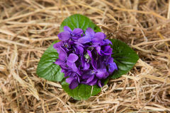 Bunch of violets leaning over the straw. Central bunch of violets with leaves and straw around it Stock Photos