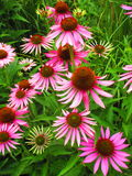Pink flowers. A bunch of vivid pink flowers in the summer sunshine Royalty Free Stock Photography
