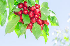 Bunch of vivid red ripe cherry berries on summer sunlit tree bra Royalty Free Stock Photography