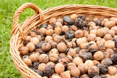 Bunch of wallnuts Royalty Free Stock Photography