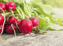 Bunch of Wet fresh radishes, gardening. Bunch of Wet fresh radishes, summer gardening Royalty Free Stock Photo