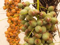 Cluster of wet green palm fruit in close-up view. Bunch of wet green palm fruit in close up view, with drops of water, after summer rain and ripe fruit in the Stock Photos