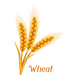 Bunch of wheat, barley or rye ears. Agricultural image Royalty Free Stock Image