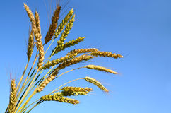 Bunch of wheat ears Royalty Free Stock Image