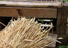 Bunch of wheat stalks with the old machine to collect seeds Stock Image