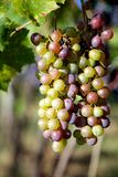 Bunch of Whie and Red Grapes on a Vine Stock Photos