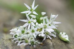 Bunch of white allium ursinum herbaceous flowers and leaves on wooden stump in hornbeam forest, springtime bear garlics foliage. Bunch of white allium ursinum stock images