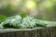 Bunch of white allium ursinum herbaceous flowers and leaves on wooden stump in hornbeam forest, springtime bear garlics foliage. Bunch of white allium ursinum stock photography