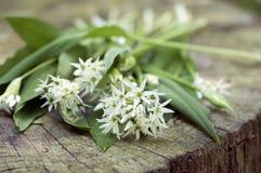 Bunch of white allium ursinum herbaceous flowers and leaves on wooden stump in hornbeam forest, springtime bear garlics foliage. Bunch of white allium ursinum royalty free stock photo