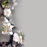 Bunch of white apple tree flowers Stock Photography