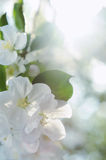 Bunch of white blossom apple fruit tree in spring Royalty Free Stock Images