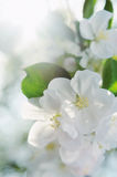 Bunch of white blossom apple fruit tree in spring Stock Photo