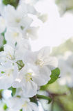 Bunch of white blossom apple fruit tree in spring Stock Photography