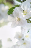 Bunch of white blossom apple fruit tree in spring Stock Photos