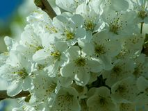 Bunch of white blossoms apple tree stock image