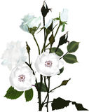Bunch of white brier and rose flowers. Illustration with light roses isolated on white background Stock Photography