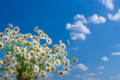 Bunch of white camomile on background of blue sky Royalty Free Stock Photography