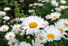 Bunch of white chrysanthemum Stock Photo