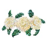 Bunch of white chrysanthemums. Watercolor. Bunch of white chrysanthemums on the white background. Wedding invitation. Watercolor drawing vector illustration