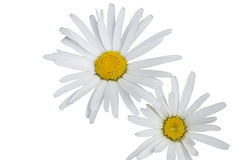 A Bunch of White Daisies Isolated Stock Photography