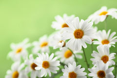 Bunch of white daisy Stock Photo