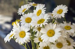 A bunch of white daisy. A bunch of beautiful white daisy Royalty Free Stock Photography