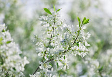 Bunch of white exochorda tianshanica flower Stock Photography